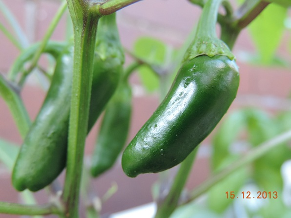 Jalapeno Green Fruit