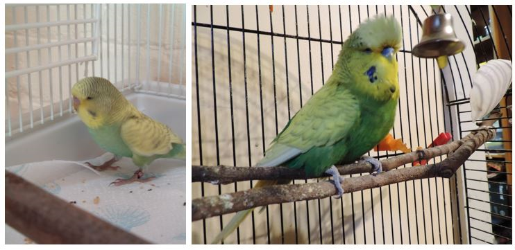 Baby and Old Budgie Aristo