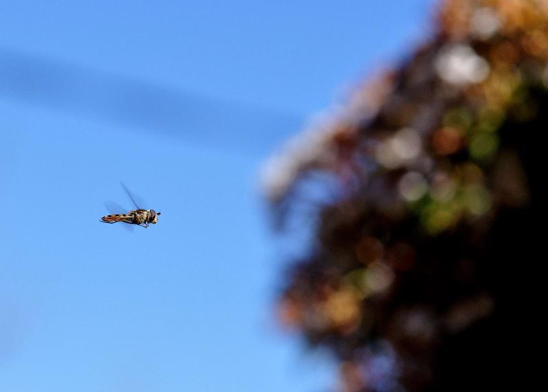 Hoverfly flight 85mm