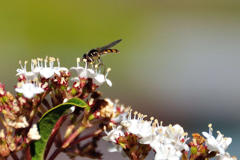 Hoverfly 200mm crop