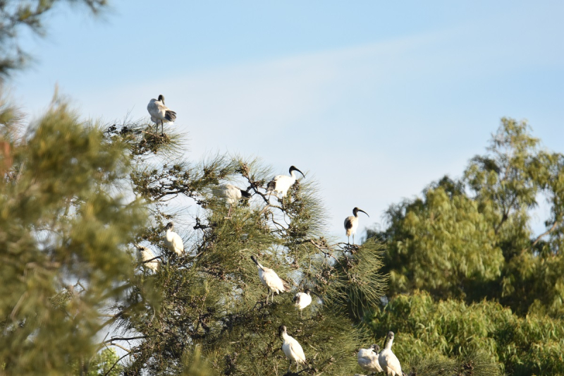 Flock of Ibis in Tree 600mm with Tamron 150-600mm