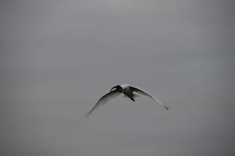 Ibis in Flight at Dawn 1