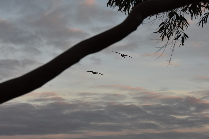 Pelicans in Flight at Dawn 3