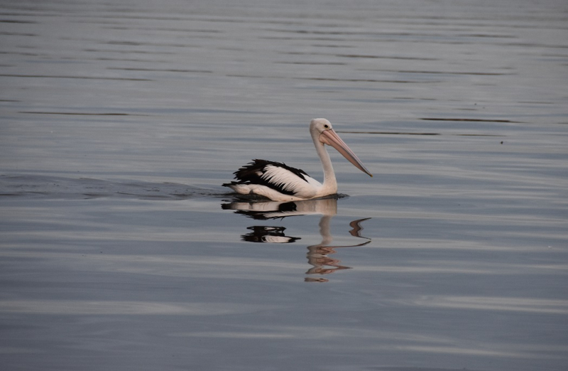 Pelican (Wife's Favourite)