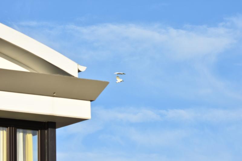 Cockatoos in Flight 150mm on Nikkor 18-200mm