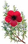 Poppy Rosemary ANZAC