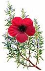 Poppy Rosemary ANZAC