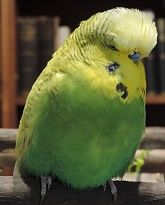 Handsome Budgie Aristo