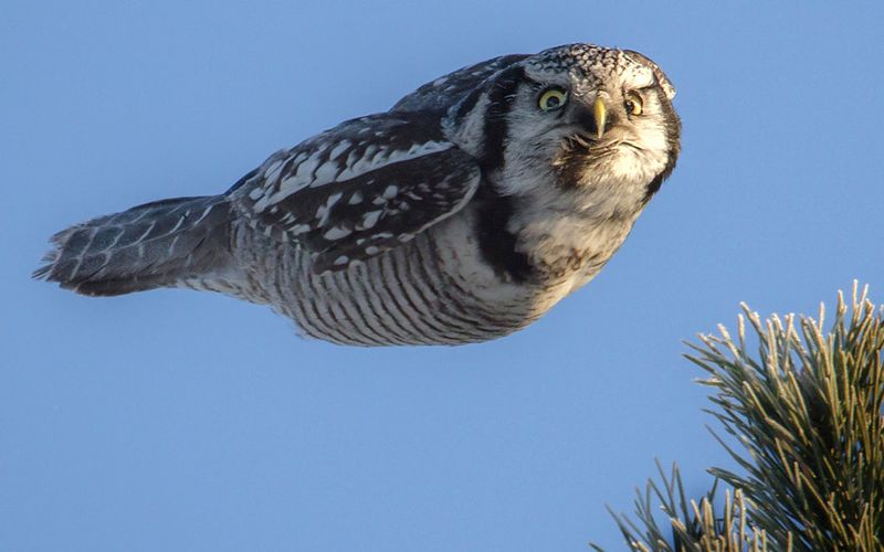 Hovering Owl