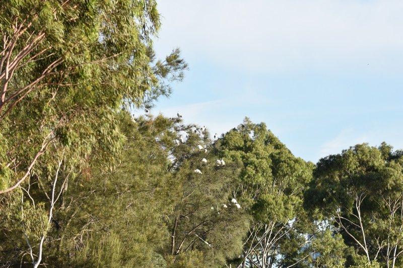 Flock of Ibis in Tree 150mm with Tamron 150-600mm