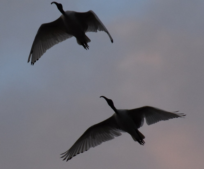 Two Ibis in Flight at Dawn Extracted