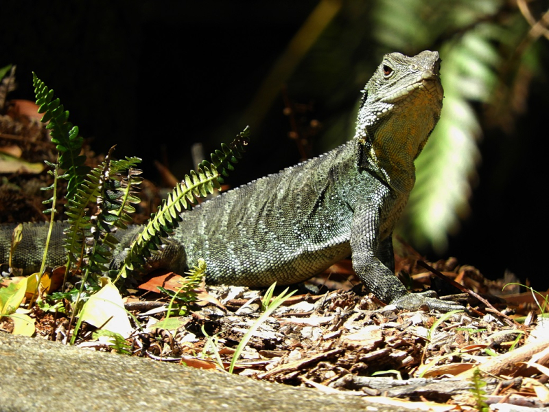 Lizard 1 Close Up
