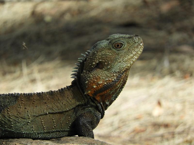 Lizard 3 Close Up