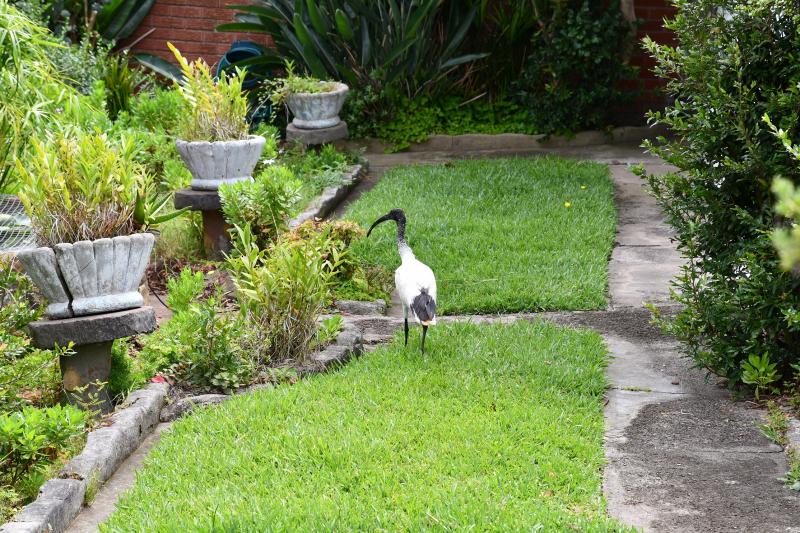 Ibis in Garden