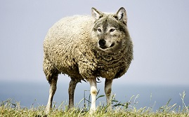 Wolf-in-sheeps-clothing small